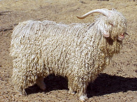 Modern_angora_goat